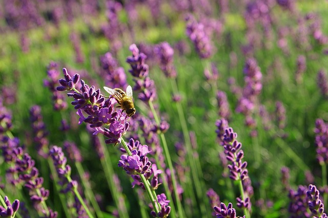 lavender-834253_640